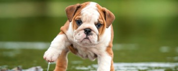 Bulldogge englische welpe