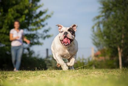 Erziehung englische Bulldogge
