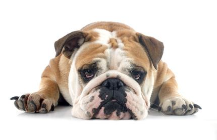 Englische Bulldogge Welpen