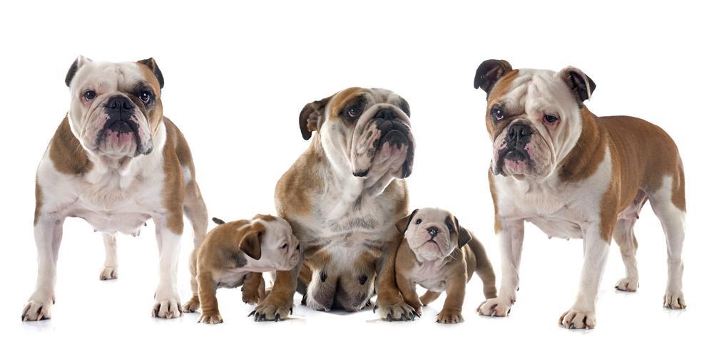 Familie Englische Bulldogge