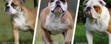 Alternative English Bulldog