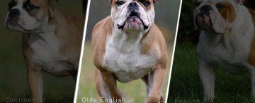 Olde English Bulldog