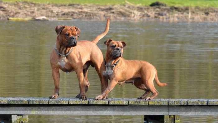 Sundance Bulldogs Red Mojo und UB's Indra - Leavitt Bulldog - Zwinger: Sundance Bulldogs | http://www.sundancebulldogs.nl