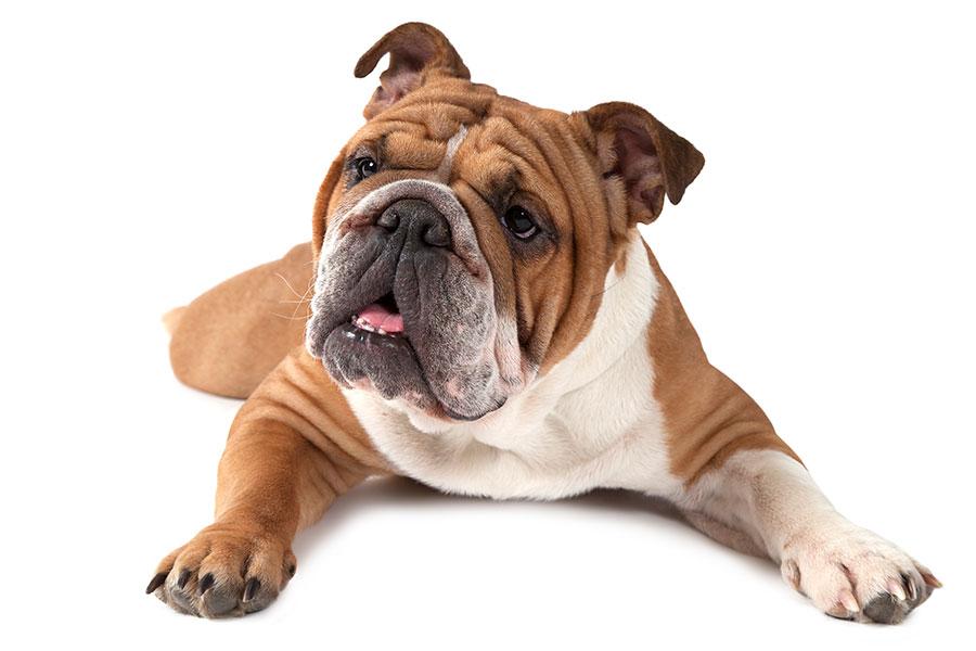 Englische Bulldogge Rüde