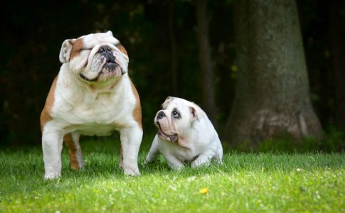Englische Bulldogge Welpenprägung – spielerisches Kennenlernen