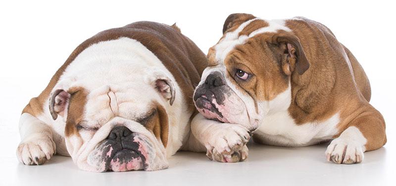 Bulldog beim Tierarzt Urheber : John McAllister 123RF.com
