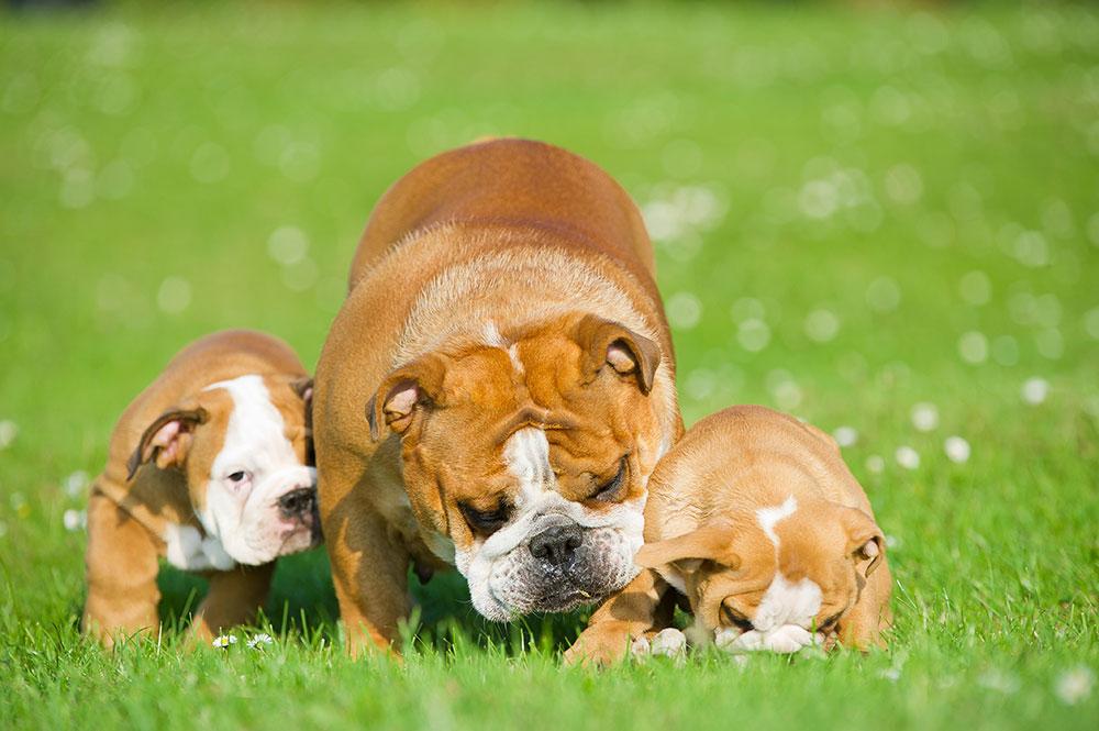 Englische Bulldoggen
